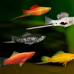 swordtail tropical fish shop online